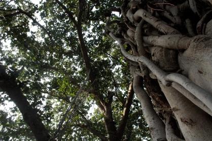 Banyan (Jaipur)